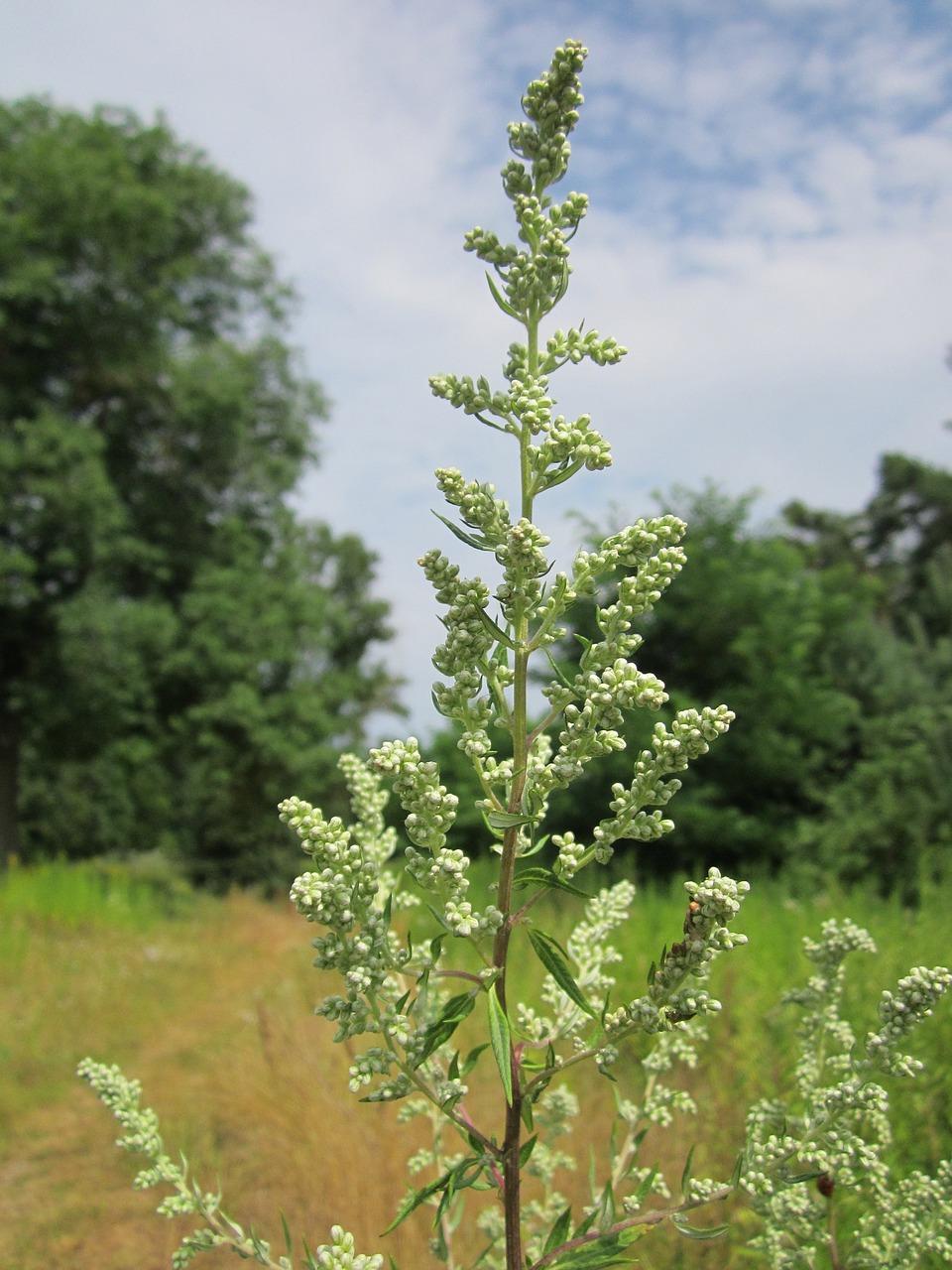 artemisia-vulgaris-848743-1280.jpg