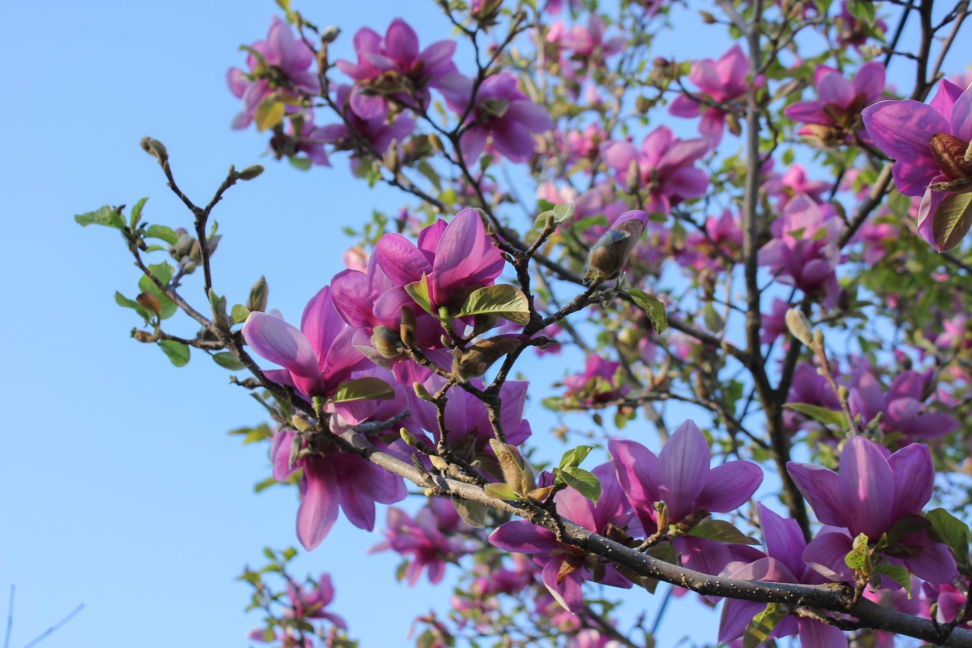 saucer-magnolia-997274-1920.jpg